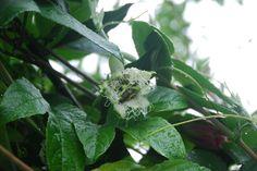 flor maracujá roxo