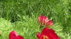 FBujor de stepă (Paeonia tenuifolia)-Rezervaţia de Bujori de Stepă-ROotografie animată Paeonia Tenuifolia, Flora, Plants, Plant, Planets