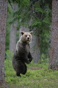 If you go down to the woods by Kevin Sawford / 500px Brown Bear, Animal Kingdom, Fascinator, Lions, Habitats, Dog Cat, Cute Animals, Wolves, Finland