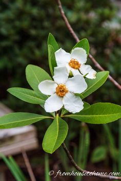 These shrubs with white flowers will be perfect for a white garden. Whether your yard is in sun or shade, or you're looking for landscaping ideas for front yards or backyards, there are some beautiful bushes on this list that will work with your garden landscape. #fromhousetohome #plants #bushes #shrubs #whiteflowergarden #gardeningideas Plants Under Trees, Small Trees, Small Front Yard Landscaping, Landscaping Ideas, White Flowers, Beautiful Flowers, White Flowering Shrubs, Kalmia Latifolia, Butterfly Bush