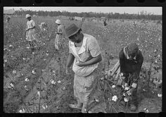 1935 Picking Cotton on the Alexander Plantation in Pulaski County Arkansas