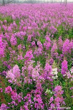 A whole field of fireweed