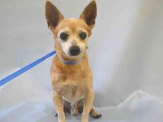 SUPER URGENT Manhattan Center MAMBO – A1048000 MALE, TAN / WHITE, CHIHUAHUA SH MIX, 12 yrs STRAY – EVALUATE, NO HOLD Reason STRAY Intake condition EXAM REQ Intake Date 08/15/2015