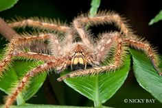 Huntsman Heteropoda davidbowie,   Singapore - Don't you think this spider looks like David Bowie? Maybe just a little? Turns out, this big old huntsman spider is named after the glam-rocking star of Labyrinth!