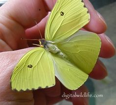 Cloudless Sulphur  F emale