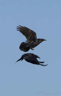 Common ravens (Corvus corax) flying about. Raven Tail, Raven Flying, Blackbird Singing, Quoth The Raven, Dark Wings, Jackdaw, Crows Ravens, Mundo Animal, Wild Birds