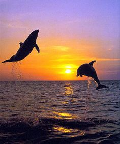 Dolphins Jumping in the Sunset Pirate Cruise, Dolphin Photos, Sunset Surf, Beach Wallpaper, Life Pictures, Ocean Life, Aquarium Fish, Marine Life, Dolphins