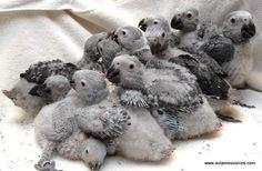 African Grey Parrot Babies- adorable!