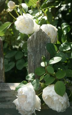 White roses against a weathered fence