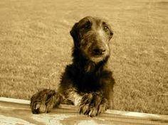 A baby deerhound