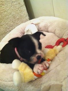 First day home with me, my Boston Terrier puppy. :)