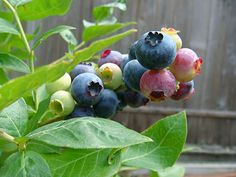 Grow Your Own Blueberries: Unless you are lucky enough to be able to regularly pick All Berries, Growing Blueberries, Plastic Trays, Banner Images, Grow Your Own, Natural Wonders, Blueberry, Gardening, Tips