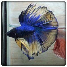 AquaBid.com - **Blue Mustard butterfly **