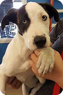 Mission, KS - Border Collie/Boxer Mix. Meet Russian Twist, a dog for adoption. http://www.adoptapet.com/pet/15795489-mission-kansas-border-collie-mix