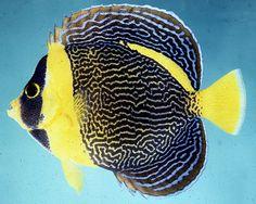 Scribble Angel Beautiful Tropical Fish, Beautiful Fish, Pretty Fish, Salt Water Fish, Marine Fish, African Cichlids, Ocean Creatures, Hai, Sea Fish