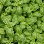 12 pest-repelling herbs good to remember