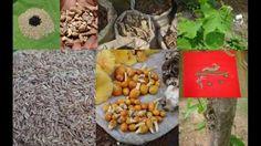 Tribal Medicines of Gandhamardan Hills for Cissus- Aristolochia Toxicity...