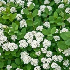 This will likely get your interest. Plum Garden, Autumn Garden, Garden Shrubs, Flowering Shrubs, Outdoor Landscaping, Front Yard Landscaping, Landscaping Ideas, Bridal Wreath Spirea