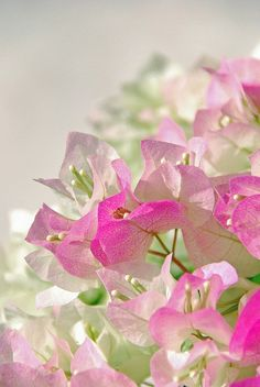 Bougainvillea. My icy pink is a dilution of fuchsia