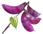 Lablab-tropical-fruit