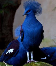 Beautiful...! Blue crowned pigeon