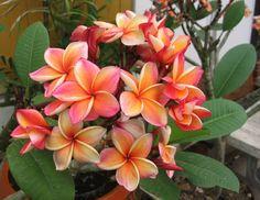 Plumeria rubra cv. Som Garasin aka Penang Peach, Cutting rooted 29,90€, unrooted 18€