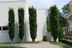 """Columnar green beech, these trees are very mature and have been cut to have a """"flat top"""" otherwise, they would just have a long straight appearance. Columnar Trees, Deciduous Trees, Trees And Shrubs, Evergreen Trees, Modern Landscaping, Landscaping Plants, Landscaping Ideas, Landscape Design, Garden Design"""