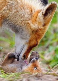 A female fox attending to her young one... Love exists among most species and is wonderful to observe!