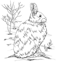 Free Coloring Pages To Correspond With Burgess Animal Book For Children When You Subscribe Little