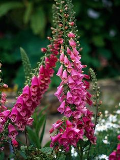 Romantic Foxglove produces flowers in shades of purple, pink, and white. More plants for cottage gardens: http://www.bhg.com/gardening/design/styles/best-plants-for-cottage-gardens/?socsrc=bhgpin061912#page=8