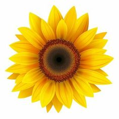 Sunflower Illustrations and Stock Art. Sunflower illustration graphics and vector EPS clip art available to search from thousands of royalty free clipart providers. Sunflower Drawing, Sunflower Flower, Sunflower Design, Sunflower Tattoos, Yellow Sunflower, Sunflower Clipart, Small Sunflower, Sunflower Home Decor, Sunflower Illustration