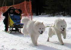 Image detail for -linda von hanneken martin and her two dog team at the start of a race