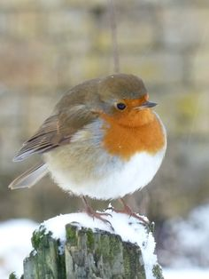 Robin...just waiting to be added to the cover of a xmas card!