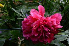 Pioni | Vesan viherpiperryskuvat – puutarha kukkii
