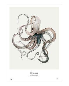 """Vulgaris"""" print by Maaike Koster of My Deer Art Shop., """"Octopus Vulgaris"""" print by Maaike Koster of My Deer Art Shop., """"Octopus Vulgaris"""" print by Maaike Koster of My Deer Art Shop. Octopus Print, Octopus Octopus, Octopus Painting, Octopus Drawing, Deer Drawing, Squid Drawing, Octopus Sketch, Octopus Artwork, Ocean Drawing"""