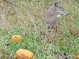 List of vegetables that deer aren't interested in.