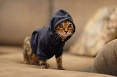 Where can I get a gangster kitty?