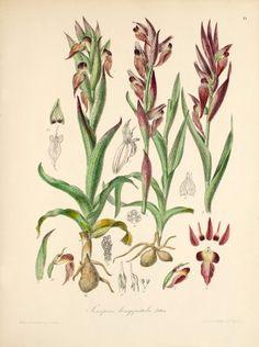 Serapias vomeracea (Burm. f.) Briq.  (Originally Serapias longipetala), 1868