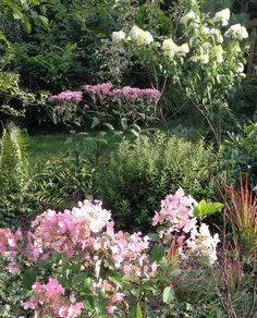 Hydrangea Limelight, Hydrangea Wim's Red, Eupatoire pourpre