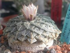 Ariocarpus kotschoubeyanus ssp. albiflorus -k album | The World of ...
