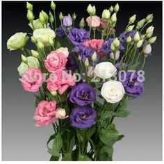 Searching for affordable Lisianthus Plants in Home & Garden? Buy high quality and affordable Lisianthus Plants via sales. Enjoy exclusive discounts and free global delivery on Lisianthus Plants at AliExpress Lisianthus Flowers, Hibiscus Flowers, Cut Flower Garden, Flower Pots, Flower Gardening, Rare Flowers, Beautiful Flowers, Seed Raising, Pink Rims