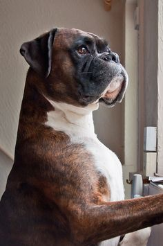 Boxer ~ There's just something about these dogs. Wonderful.