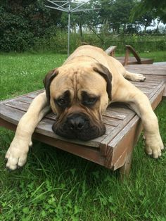 The four breeds most commonly called Mastiffs are the English Mastiff, the Neapolitan Mastiff, the Bull Mastiff and the Tibetan Mastiff. Bull Mastiff Dogs, English Mastiff Puppies, Mastiff Breeds, English Mastiffs, Bull Terriers, Giant Dog Breeds, Giant Dogs, I Love Dogs, Cute Dogs