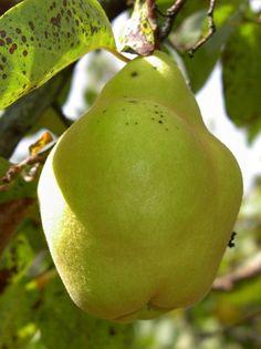 QUINCE 'CHAMPION', Cydonia oblonga 'Champion' Plantation, Wild Ones, Fresh Fruit, Pear, Exotic, Champion, Orchards, Food, Gardens