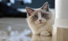 Coisas que você não sabia sobre a raça de gatos Ragdoll