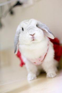 Frosty Point / frosted pearl Holland lop