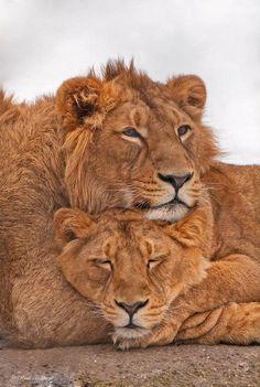 Lion Couple by René Hablützel Nature Animals, Animals And Pets, Cute Animals, Wild Animals, Beautiful Creatures, Animals Beautiful, Lion Couple, Lion And Lioness, Leo Lion