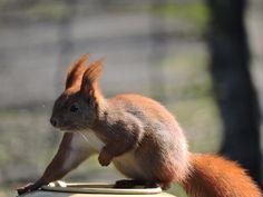 Squirrel by Romuald Statkiewicz