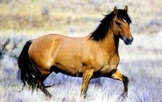 No other horse in America is quite like the Kiger Mustang found on Steens Mountain in southeastern Oregon. Most wild horses are of mixed influence and characteristics while the Kiger Mustangs possess many characteristics of the original Spanish Mustang. larsnpony