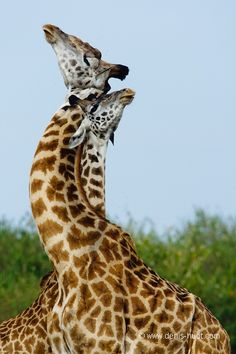 "Africa | ""Locked in combat"".  Male giraffes.| ©Christine and Michel Denis Huot"
